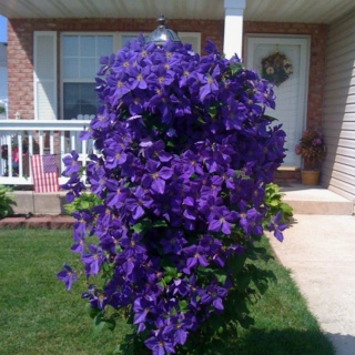 Kim Danes This is my favorite plant in my yard. It is a purple clematis that we have growing in front of a light pole