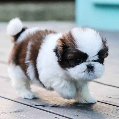 Available Pups Jason Shih Tzu Breederss In 2020 Mixed Breed Puppies Shih Tzu Puppy Pup