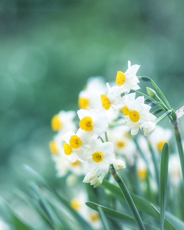 Nada Kuroiwa Narcissus Field Awaji Island Minamiawaji Hyogo Japan Narcissus Flower Winter 灘黒岩水仙郷 淡路島 南あ Narcissus Flower Narcissus Daffodils Planting