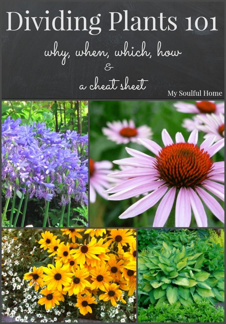 Dividing plants a guide to why, when, which & how.  Very thorough explanation with a terrific cheat sheet for common perennials.  Come have a look & bookmark the cheat sheet.