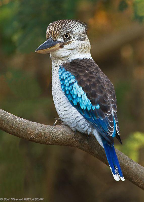 Kookaburra pic