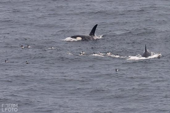 Orca in Shetland islands - by embfoto.com