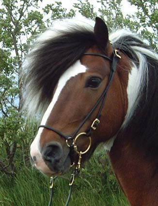 Icelandic horse. Rich color and full mane. I love that it has two unique gaits.