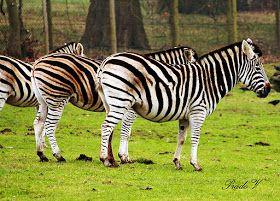 Wildlife photography - Woburn Safari park