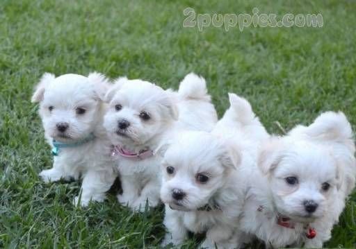 Find Your Dream Puppy Of The Right Dog Breed At Maltese Dog For