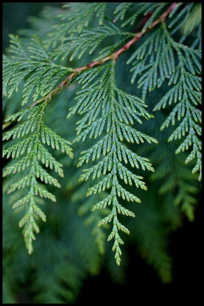 Thuja, Thuja occidentalis, Cupressaceae Sypressfamilien, LIGNOSE