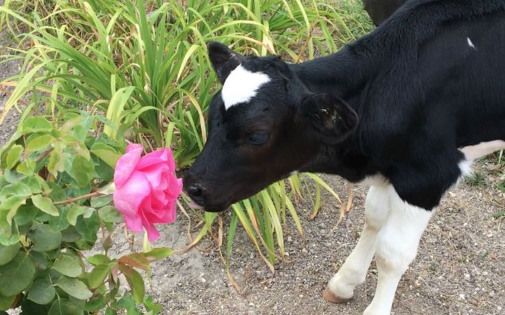 Roselyn is a baby cow who loves to snuggle up with her caregivers (she is also a big fan of giving kisses!), at her forever home where she is safe and loved. But this little one's beginnings …