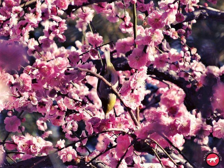 Cute mejiro on a plum tree Joli mejiro sur un prunier en fleur #japon #japan #kyoto