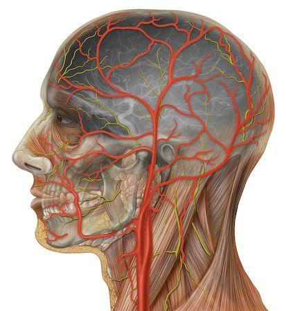 Human head anatomy with external and internal carotid arteries | Flickr - Photo Sharing!