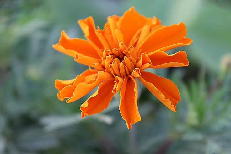 https://flic.kr/p/MzvLfQ | October Birth | The October Flower is Marigold