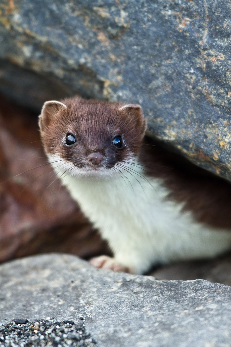 Baby short tailed weasel - photo#47