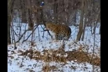 Rare leopard wanders out of woods, approaches Russian road