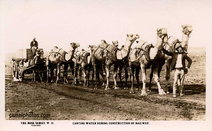 Australia, 10 camels pulling a wagon full of much needed water in the Australian Outback during construction of the railway.