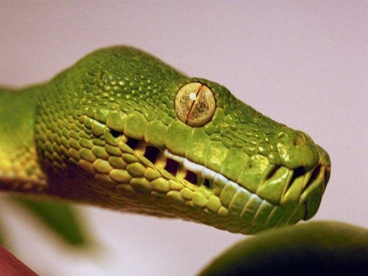 Käärmeet - varitaustakuvat: http://wallpapic-fi.com/elaimet/kaarmeet/wallpaper-33050