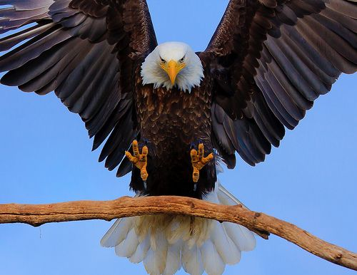 bald eagle  photo by firetree images