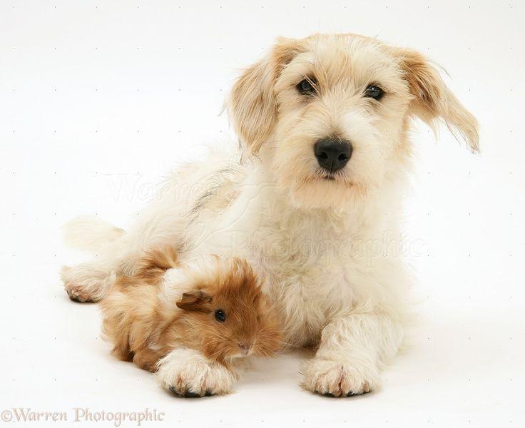 ... Mongrel dog with a Guinea pig