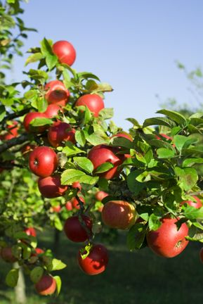 Growing Your Own Fruit Trees  Apple, strawberry and raspberry bush, blueberries, cranberries, acai berries, gooseberries, plum or apricots, Concord grapes, pears, cherry,  sugar maple tree,   Nut trees- walnut, chestnut, almond,