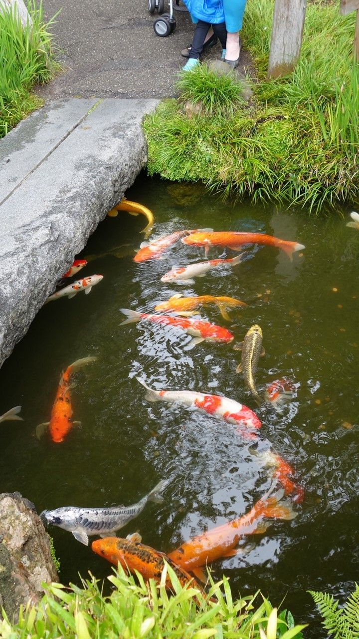 Ancient japanese gardens - It Was Warm And Sunny With Very Active Koi In The Peaceful Oldest Public Japanese