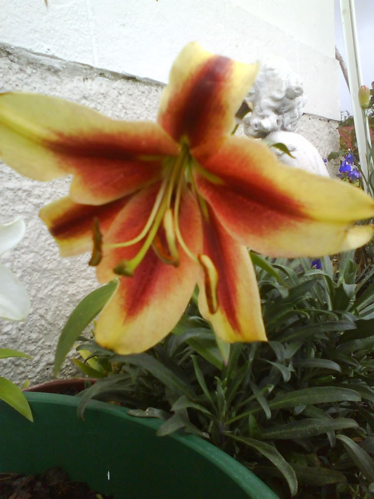 I also have a pink and orange Asiatic lilly, This is the oly striped one I have the orange one is plain the pink has some markings on it.