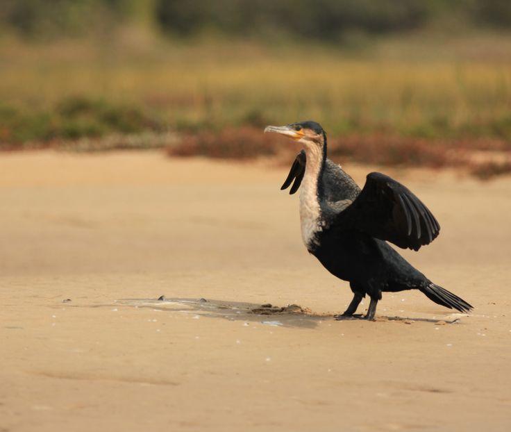White breasted cormorant, Kariega River