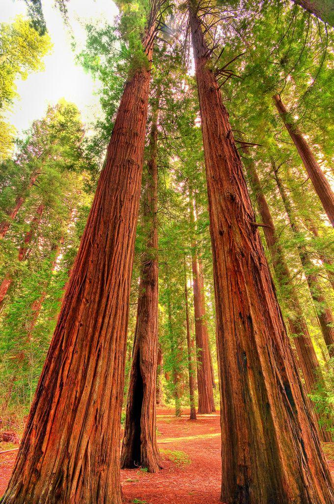 redwood trees in california! Got to see those last week!