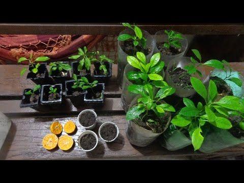 Como germinar sementes de laranja, limão ou qualquer outra cítrica - YouTube