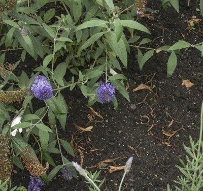 Growing a Butterfly Bush From Cuttings : Grow Guru - YouTube