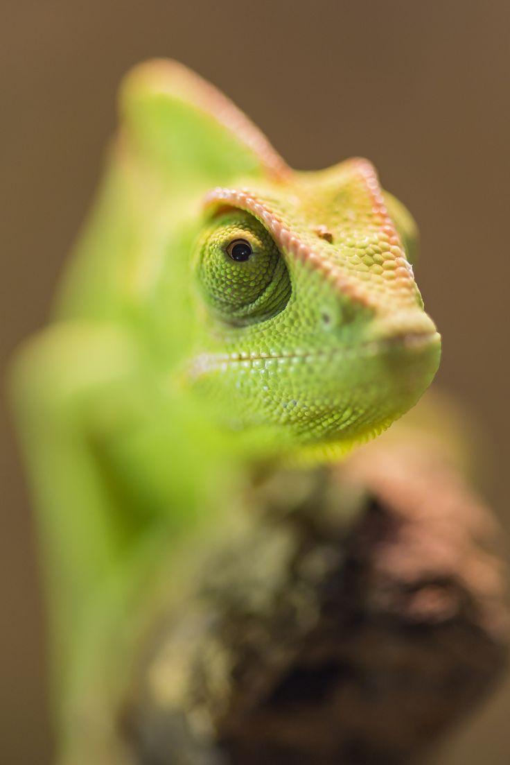 25 amazing chameleon pictures - Veiled Chameleon