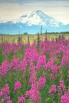 fireweed field with Mt. Redoubt volcano in the background, Kenai Peninsula, Alaska