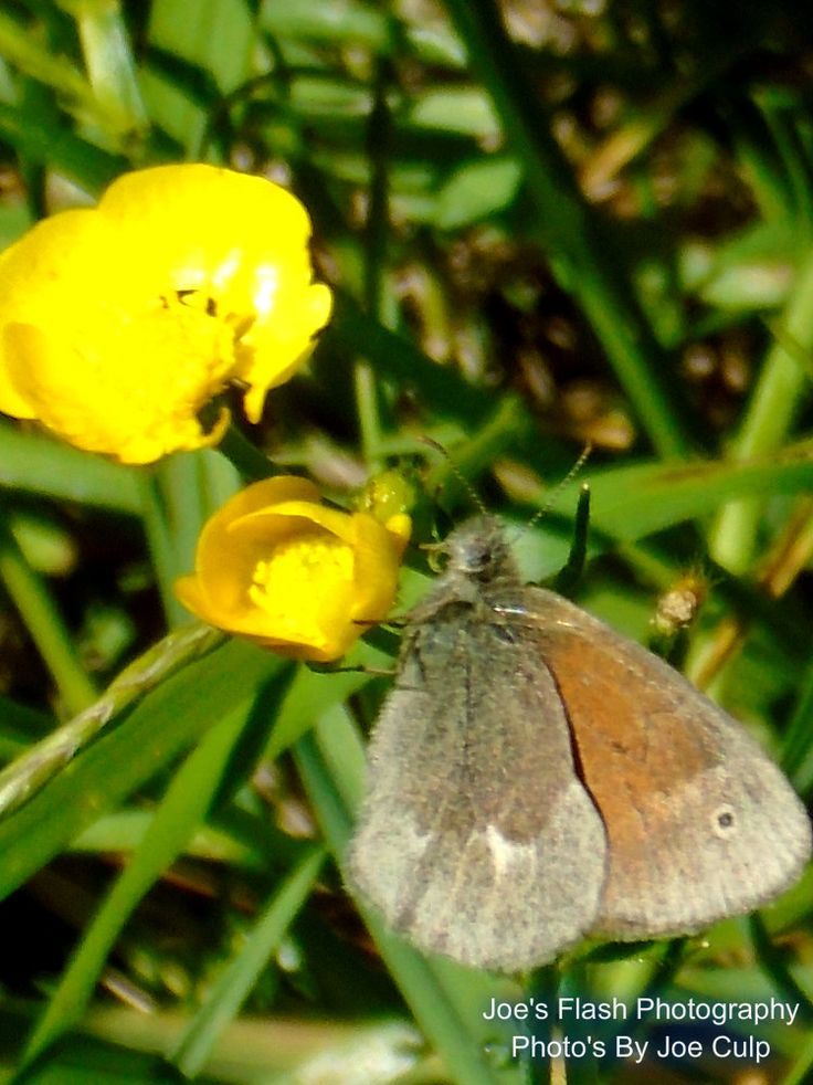 A Brown Moth on a Buttercup at Quinte Conservation Quinte West Ontario