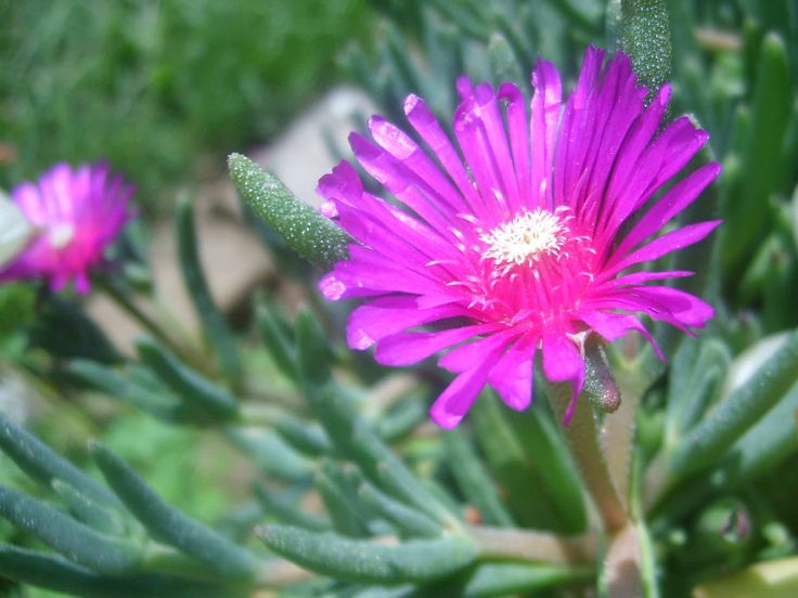 Delosperma cooperi (Pink Carpet) is a perennial evergreen succulent, with needle-like leaves studded with fluorescent pink, up to...