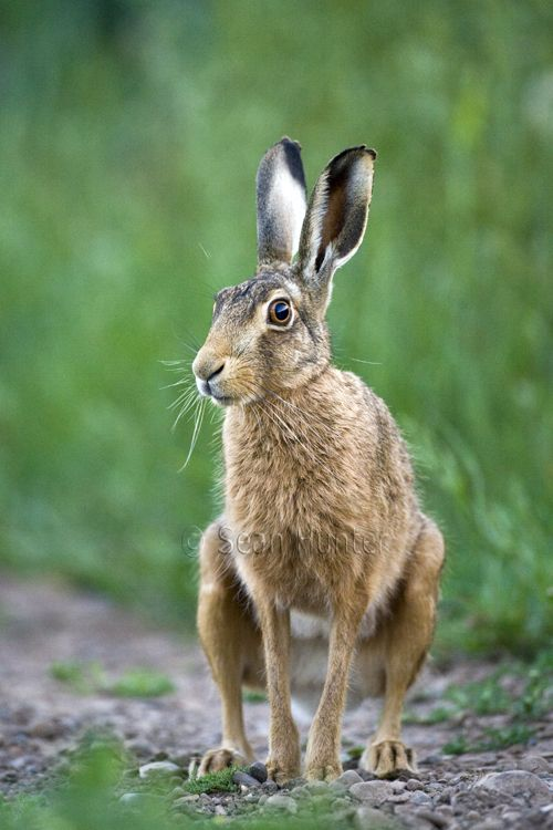 Hare European brown hare on a farm