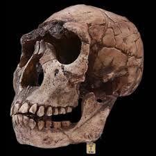 HOMO ERGASTER:En 1984, fue descubierto en Nariokotome, cerca al lago Turkana (Kenia), el esqueleto completo de un individuo de unos 11 años, 1,60 m de estatura y cerebro de 880 cm³, con una antigüedad de 1,6 millones de años; se conoce como el niño de Nariokotome.