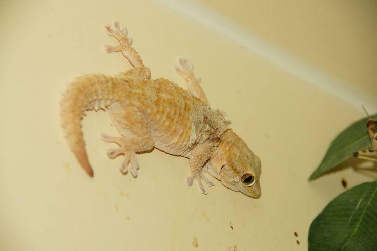 I'm selling White Spot Gecko Breeding Trio - £30.00 #onselz