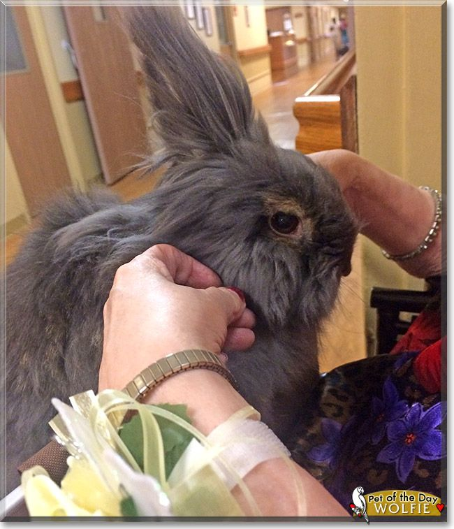 This is Wolfie, my Lionhead bunny rabbit. He is a certified Animal Assisted Therapy rabbit. He visits a local nursing home and is loved by all the residents. He visits in a basket and gets so excited when visiting his nursing home friends. Huntsville Friends of Rabbits, a local domestic rabbit rescue, saved him 4 years ago from a bad situation. He is now living it up, and even has a friend named Iris to pass his time with when not on the job. He is loved by many people, not just me!