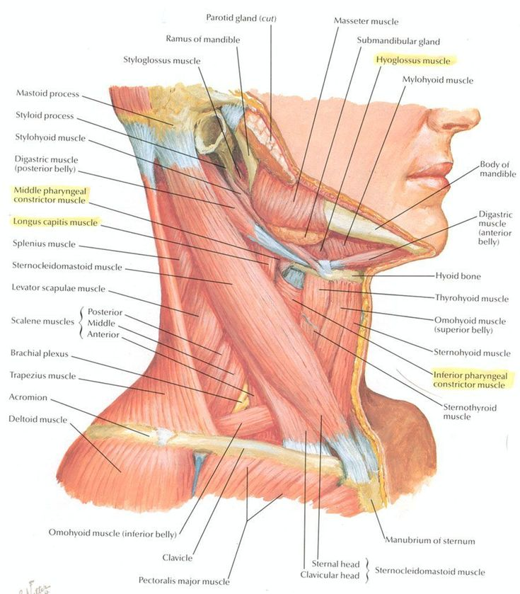Neck Muscle Anatomy - Health, Medicine and Anatomy Reference Pictures #MuscleAnatomy
