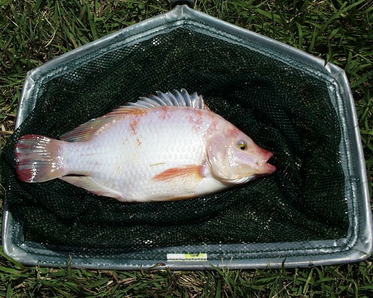 How To Raise Tilapia In The Backyard (With images ...