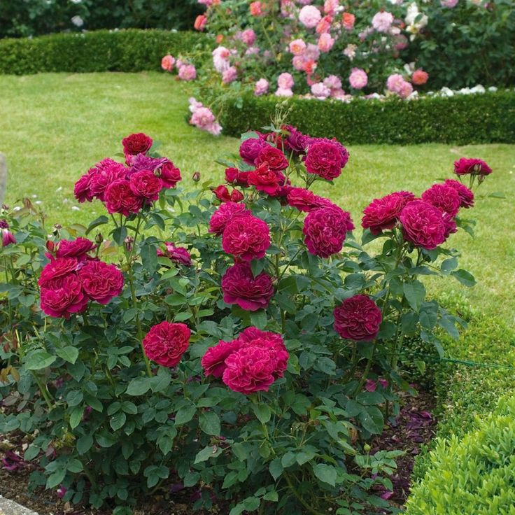 Darcey Bussell - English Rose Shrubs - English Roses