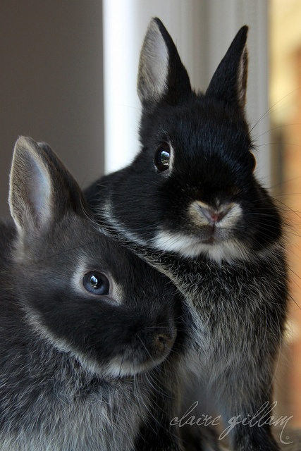 Adorable rabbits. Netherland Dwarfs