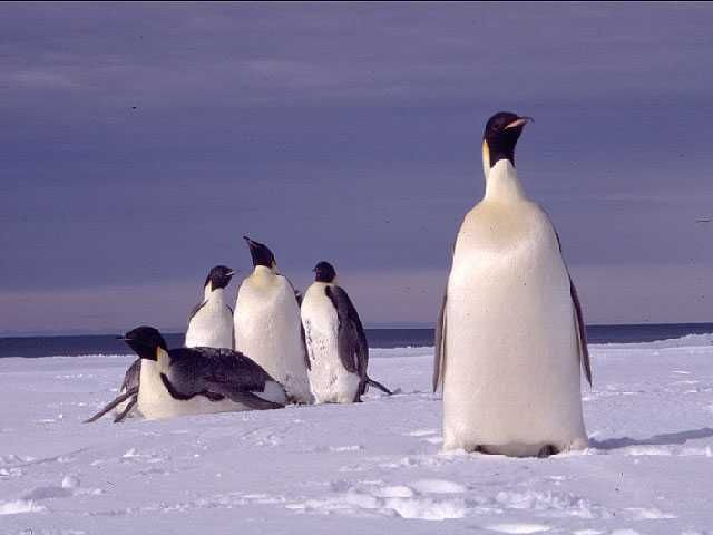 Relaxing Penguins - Penguin Pictures