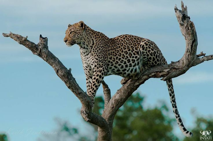 Experience an untouched world of perfect hushed silences and raw wildlife moments on safari at Inyati Game Lodge, Sabi Sand Reserve, South Africa.