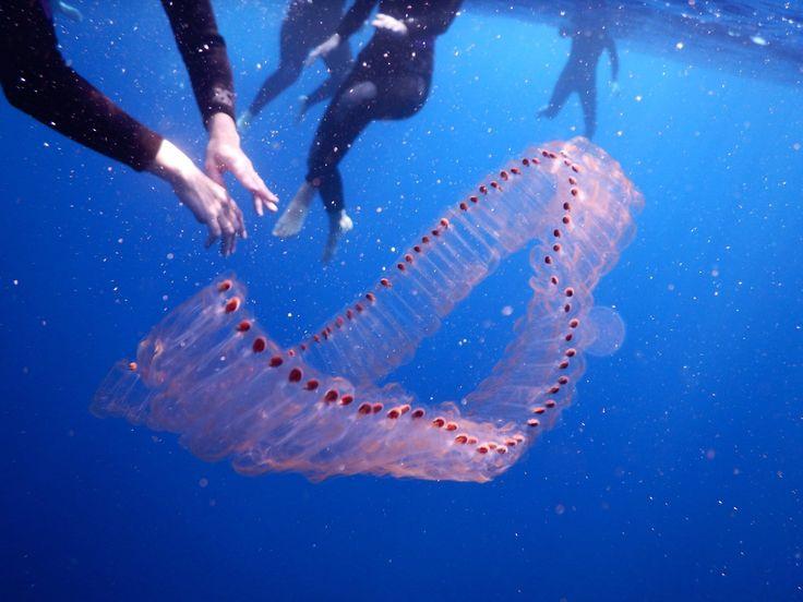 """Nager à côté de """"chaines"""" de phyto plancton : c'est beau et très insolite"""