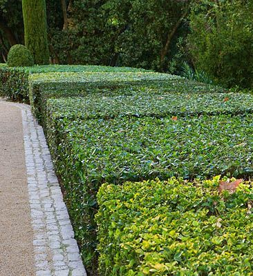 wide clipped hedges...so pretty