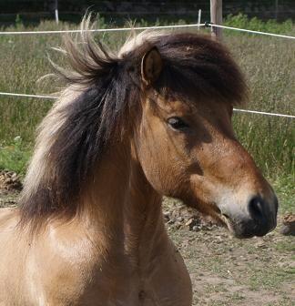 jeg elsker islandske heste