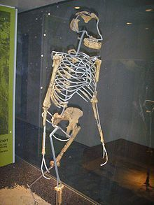 Lucy (Australopithecus) - 3.2 million years old. Discovered in 1974 at Hadar in the Awash Valley