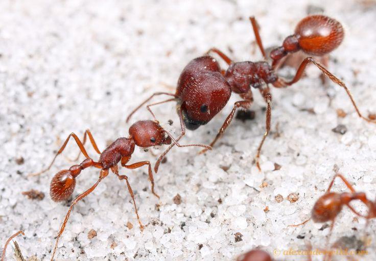 Worker Ant Vs Soldier Ant Worker ant vs. Soldier...