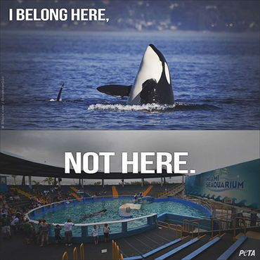 these poor beautiful animals need to be in the wild. they don't belong in captivity. #SaveTheOrcas