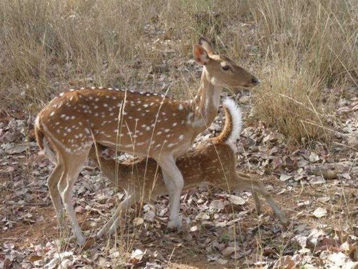 Kanha National Park and Tiger Reserve in Madhya Pradesh, Madhya Pradesh, India