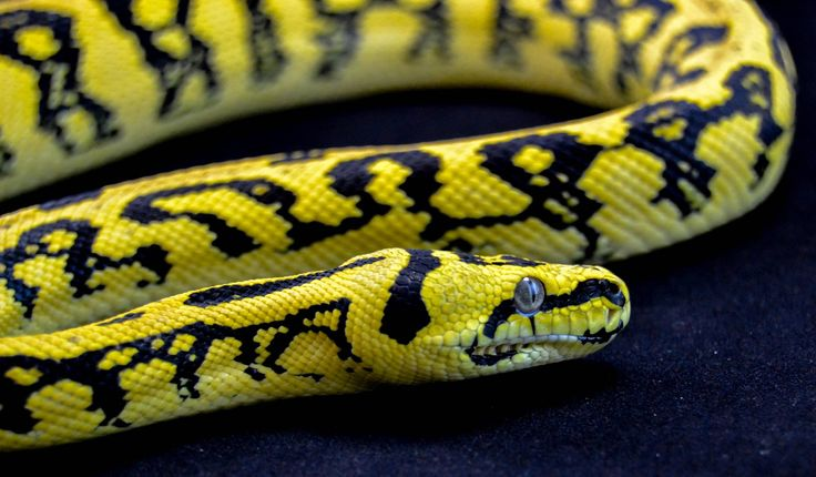 1000+ images about Morphs of Carpet Pythons on Pinterest