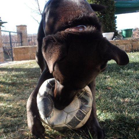 ♥♥♥♥♥ #instapuppy #instagrampet #dogs #petstagram #petlovers #play #ball #like4like #followme